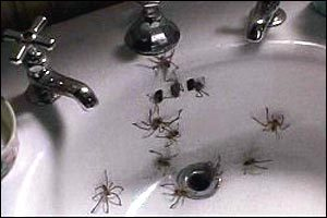 spiders in sink