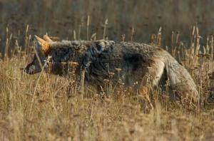 CoyoteStalking_0319