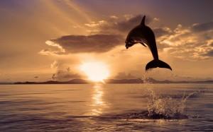 dolphin-animal-beautiful-beauty-clouds-dolphin-dolphins-gloden-lovely-mammal-nature-ocean-peaceful-photography-pretty-rays-reflection-sea-silhouette-sky-splendor-sun-sunlight-su