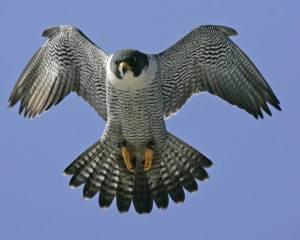 falcon_logo