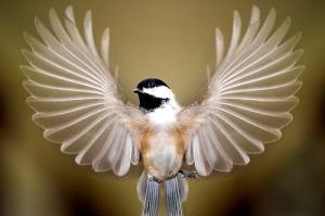 chickadee-wings