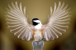 chickadee-wings
