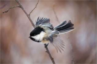 inglewood-chickadee-c2a9-christopher-martin-2840