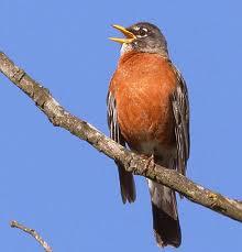 robin sings