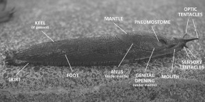 Slug anatomy 101clowrescropped