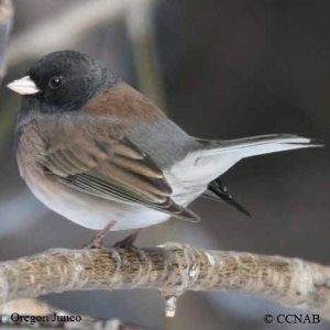 oregon-junco-10