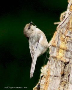 bushtit on tree