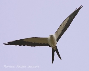 swallow-tailed_kite