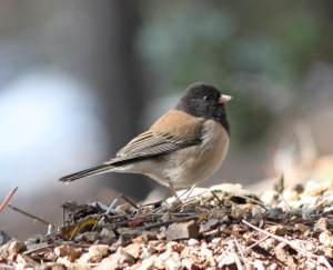 Dark-Eyed_Junco_post
