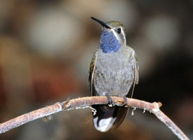 bluethroatedhummingbird