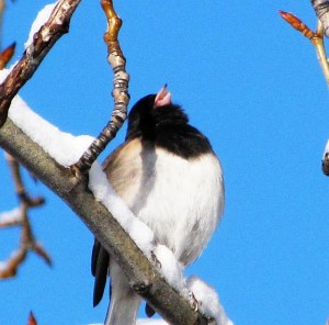 junco-singing-2