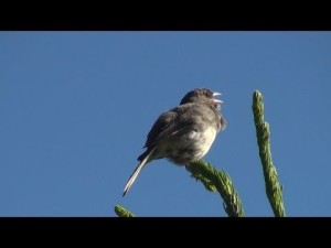 junco singing