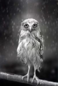 Owl Standing-in-the-rain...
