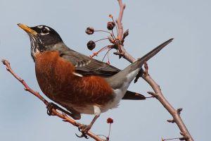 robin-bird-spring-19