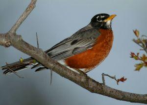 robin morning