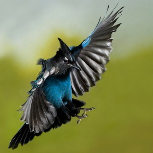 stellers-jay-mid-flight