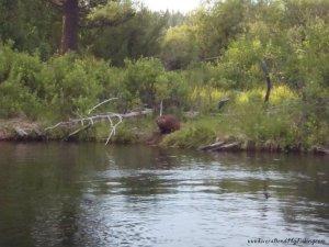 trout beaver