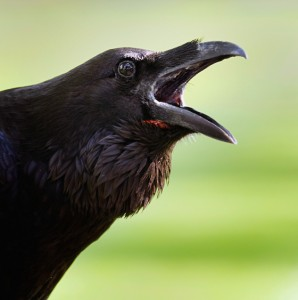 crow caw