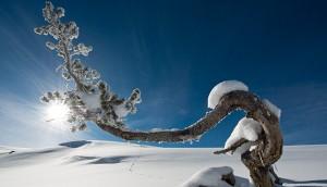 Lodgepole-Pine-snow
