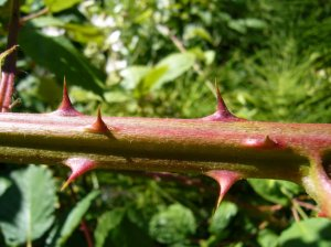 blackberry thorns