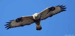 rough-legged_hawk_soaring_11-13-07