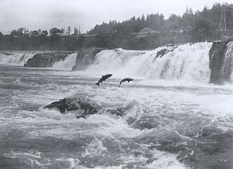 Salmon_at_Willamette_Falls